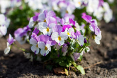 Pansies flowers Royalty Free Stock Photo