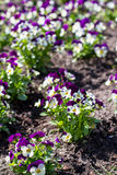 Pansies. Flowers in the spring Stock Photo