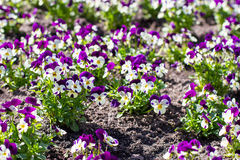 Pansies flowers in the spring. Garden Stock Photo