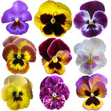 Pansies. Flowers on White background Royalty Free Stock Images