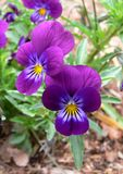 Pansies in the Garden. Spring Pansies stock photo