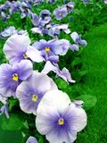 Pansies in Garden. Blue, White and Purple Pansies in Garden Royalty Free Stock Photo