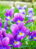 Pansies in the garden Stock Photography
