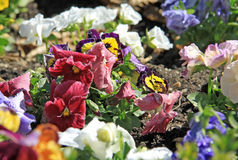 Pansies in a garden Stock Images