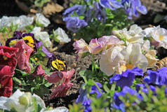 Pansies in a garden Royalty Free Stock Image