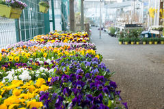 Pansies in a garden store. Stock Photo