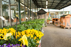 Pansies in a garden store. Royalty Free Stock Photo