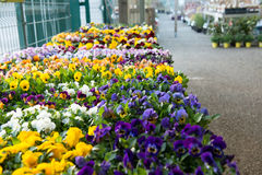 Pansies in a garden store. Stock Images