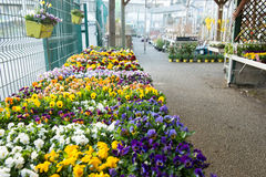 Pansies in a garden store. Stock Photos