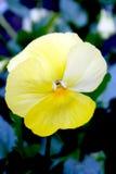 Pansies gialli Fotografie Stock