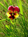 Pansies in the grass. Backlight Royalty Free Stock Image