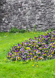 Pansies on a green lawn Royalty Free Stock Image
