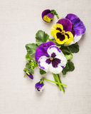 Pansies greeting card Royalty Free Stock Images