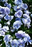 Pansies in Hues of Blue stock image