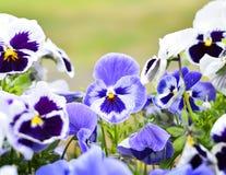 Pansies i en blomsterrabatt i vår Arkivfoton