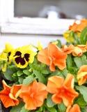 Pansies i en blomsterrabatt i vår Royaltyfri Fotografi