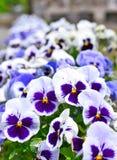 Pansies i en blomsterrabatt i vår Arkivbilder