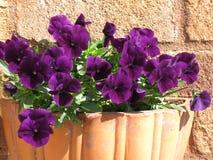 Pansies i solen Royaltyfri Bild