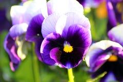 Pansies i trädgården Royaltyfri Foto