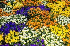 Pansies im Frühjahr Lizenzfreies Stockfoto
