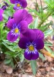 Pansies im Garten Stockfoto