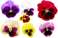 Pansies isolated on white background. Viola tricolor red blue yellow macro closeup Royalty Free Stock Photography