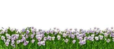 Pansies isolated white panorama format. Border of pansy plants with flowers in shades of violet, lilac and blue in panorama format, isolated on white, background royalty free stock photography