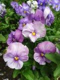 Pansies lilás do jardim Fotografia de Stock Royalty Free