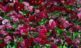 Pansies marrons Foto de Stock Royalty Free