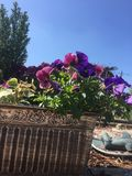 Pansies on a Mediterranean patio. Gloucester garden 2017 Royalty Free Stock Photography