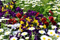 Pansies na cama de flor. Imagem de Stock Royalty Free