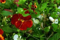 pansies Ogrodowy kwiat obrazy royalty free