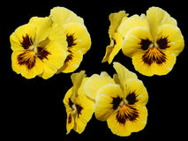 Pansies, pansy, heartsease, love-in-idleness, kiss-me-quick flow Stock Photos