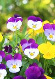 Pansies Peace. Peace in Pansies in California Royalty Free Stock Photography
