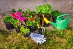 Pansies, petúnias cor-de-rosa, ásteres Flores em uns vasos de flores Inventário do país Jardinagem imagem de stock
