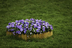 Pansies. A pile of pansies in the middle of green grasses Royalty Free Stock Photo
