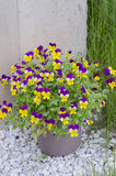 Pansies in the pot. Colorful pansies in the pot Stock Photo