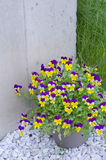 Pansies in the pot Stock Photography