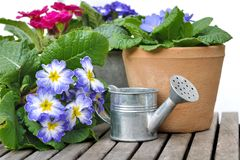 Pansies in pot Royalty Free Stock Photo