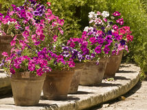 Pansies and Pots Stock Photo