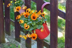Pansies of a potty hanging on a fence.  stock photos
