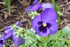 Pansies. Purple pansies in garden during spring Royalty Free Stock Photo