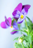 Pansies. Purple pansies on the white background Royalty Free Stock Photo
