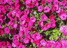 Pansies rosa Immagini Stock