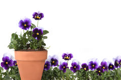 Pansies in a Row and in a Clay Pot. Representing Springtime and Summer Gardening Stock Photos