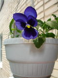 Pansies. In a Row and in a Clay Pot Representing Springtime and Summer Gardening Stock Image