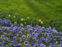 Pansies roxos com tulipas amarelas Fotos de Stock Royalty Free