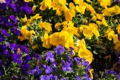 Pansies roxos e amarelos Fotografia de Stock