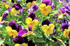 Pansies roxos e amarelos Fotografia de Stock Royalty Free