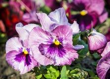 Pansies roxos no jardim Fotografia de Stock